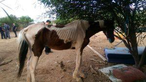 סוס שנתפס בחוות סוסים ברמת גן.צילום עיריית רמת גן