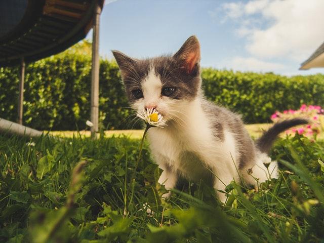 חתול מחמד