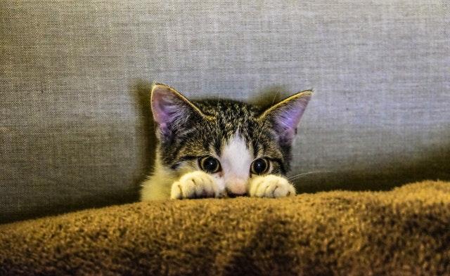 חתול בית