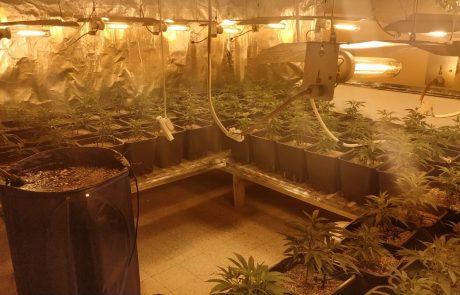 נתפסו מאות שתילי מריחואנה בדירה בגבעתיים